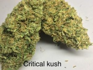Buy Critical Kush Cannabis Strain