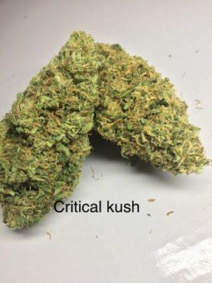 Buy Critical Kush Cannabis Strain