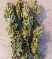 Quantum Kush Marijuana Strain